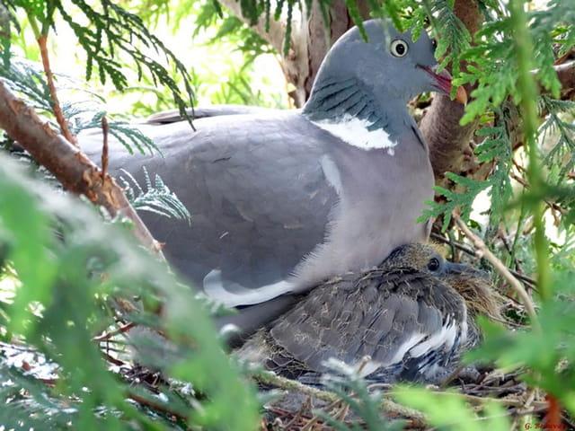 Pigeon ramier sur le nid par gerard beauvais sur l 39 internaute - Se debarrasser des pigeons ...