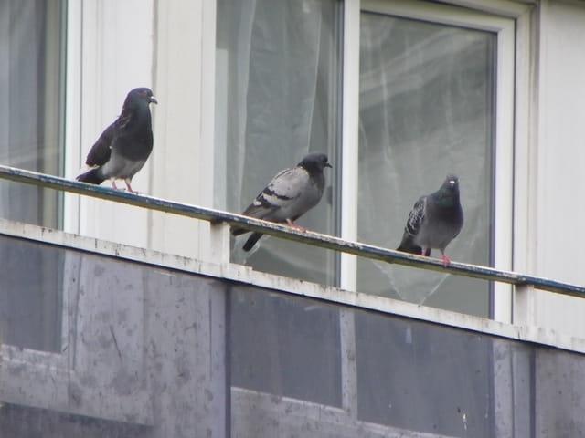 Pigeon(s) en balade