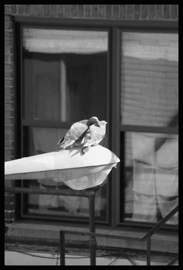 Pigeons amoureux