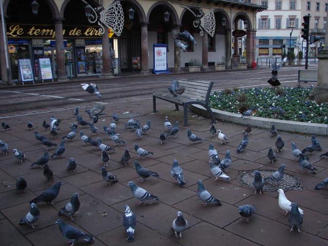 Pigeons au petit matin