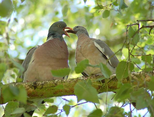 Pigeons ramiers (4)
