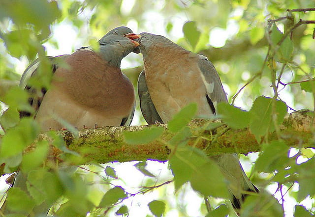 Pigeons ramiers (6)
