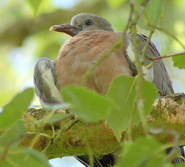 Pigeons ramiers (8)