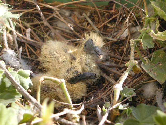 Pigeons ramiers au nid