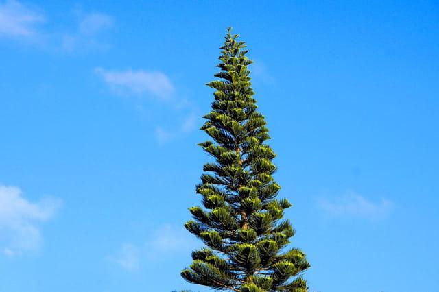 pin colonnaire nouvelle-calédonie