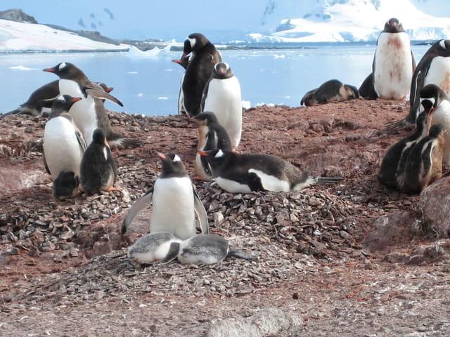 Pingouins et leurs petits