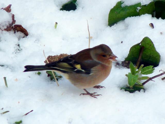Pinson dans la neige