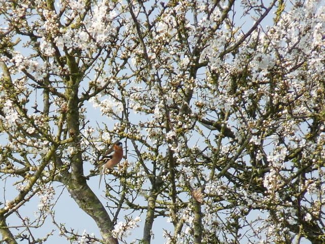 Pinson des arbres et prunellier
