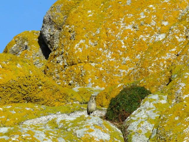 Pipit sur un rocher