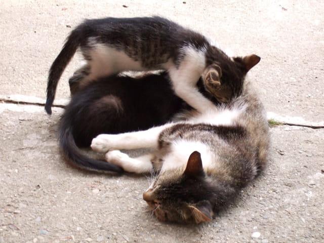 Pisici / chatons