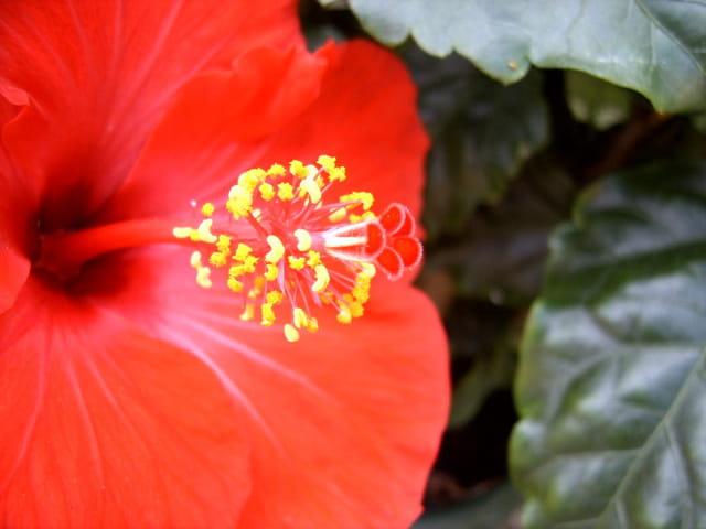 Pistil d'hibiscus