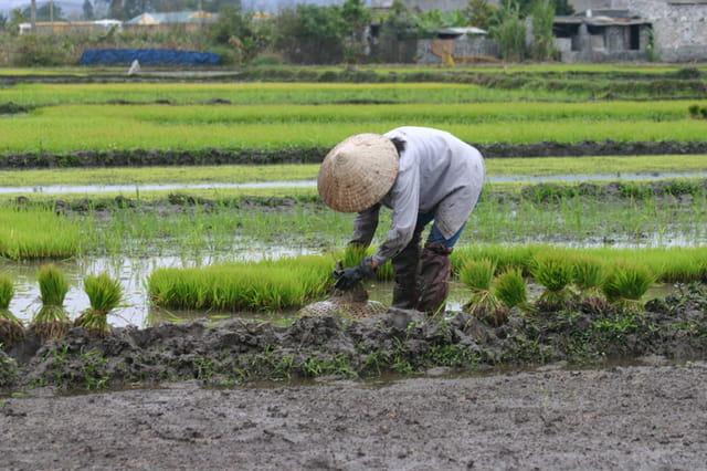 Plantage pousses de riz
