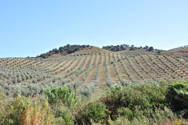 plantation d 39 oliviers par claude garnier sur l 39 internaute. Black Bedroom Furniture Sets. Home Design Ideas