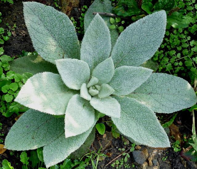 Plante duveteuse par louis m vel sur l 39 internaute for Recherche plante