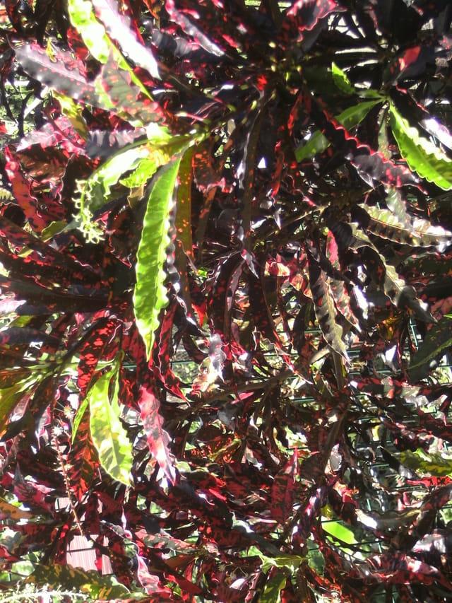 plante ornementale de la martinique par ghislaine merlini