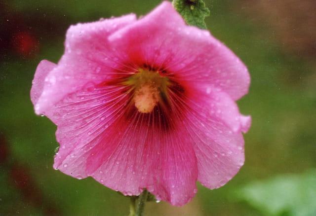 Pluie fleurie