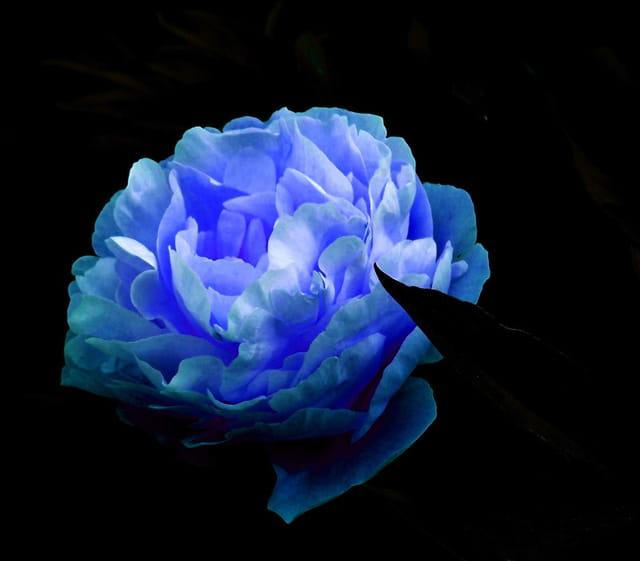 Plutôt fleur bleue !!!