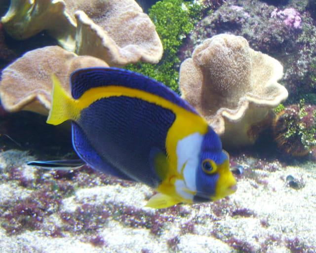 Poisson bleu jaune