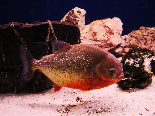 poisson exotique d 39 aquarium par jean marc puech sur l 39 internaute. Black Bedroom Furniture Sets. Home Design Ideas