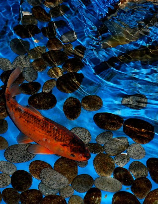 Poisson rouge par janine mignot sur l 39 internaute for Recherche poisson rouge