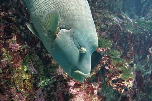 poissons napoléon