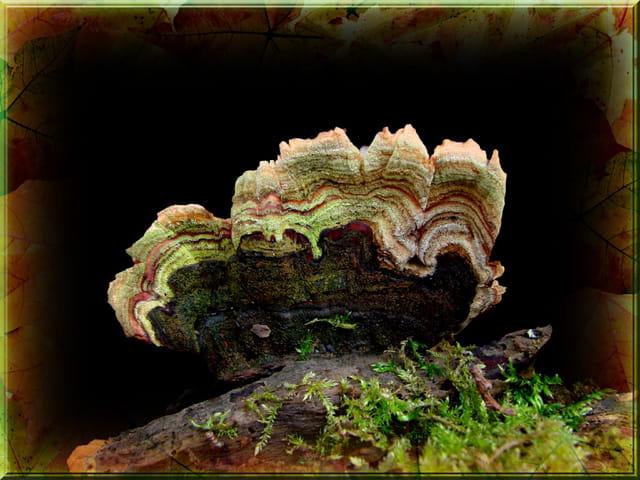 Polypore versicolore