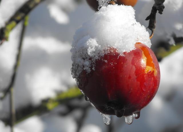 Pomme de givre