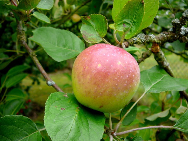 Pomme de Normandie encore verte
