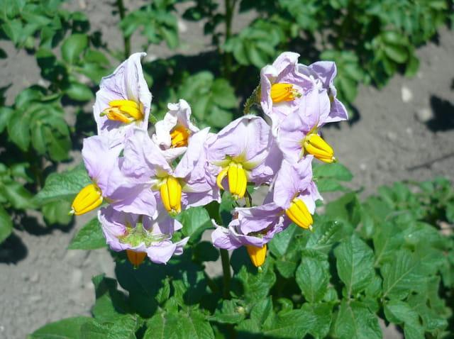 Pomme de terre en fleur