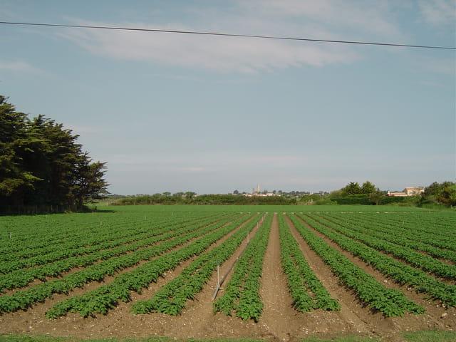 Pommes de terre de Noimoutiers