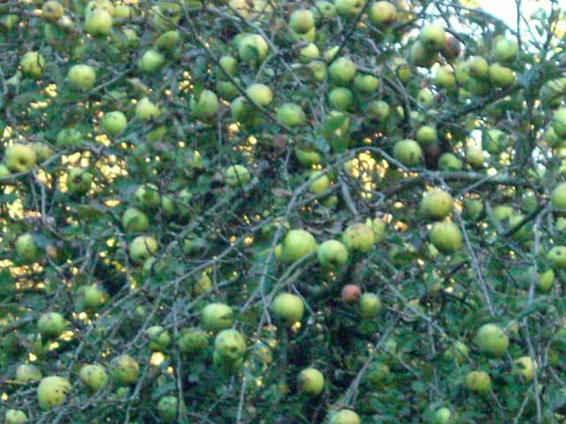 Pommes, pommes, pommes, pommes ....