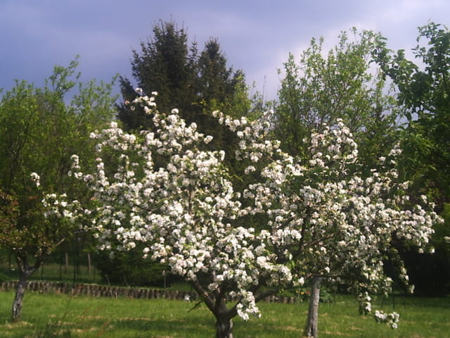 Pommier en fleurs par René WISSELMANN sur L'Internaute