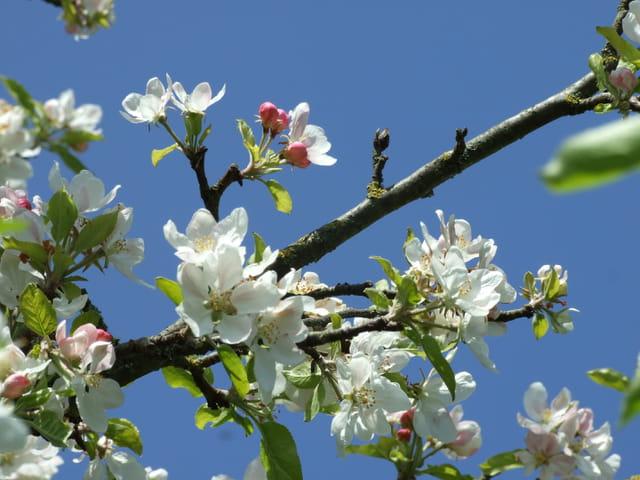 Pommier en fleurs par sur L'Internaute