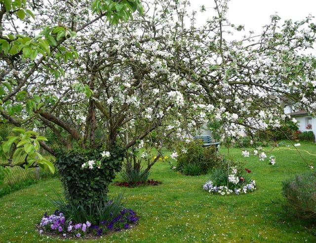 Pommier en fleurs dans un jardin de haute normandie par for Fleurs dans un jardin