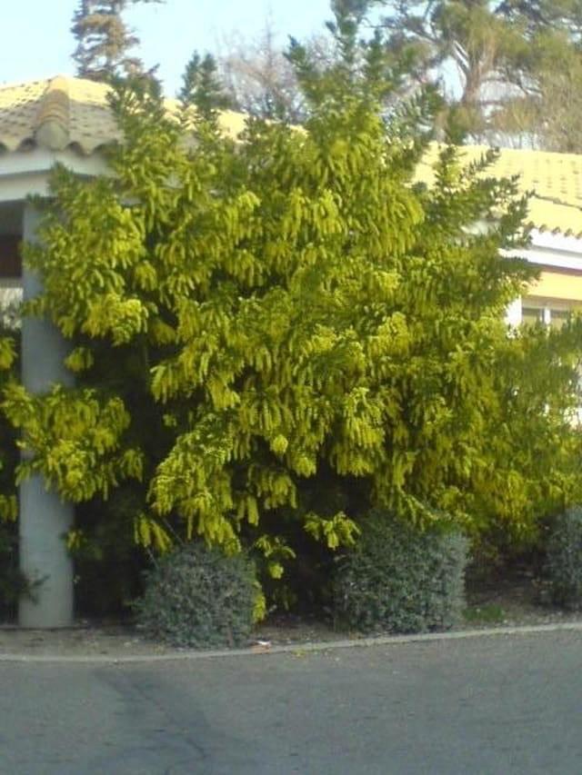 Pompons jaunes cotonneux