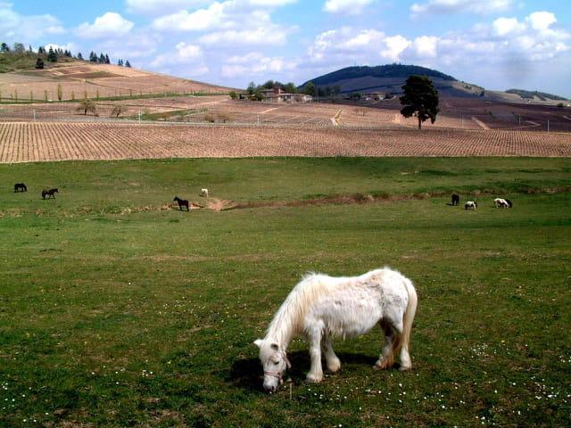 Poney en Beaujolais