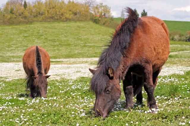 Poneys shetland