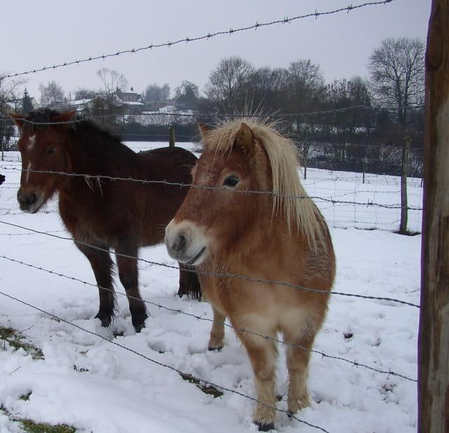 Poneys sous la neige