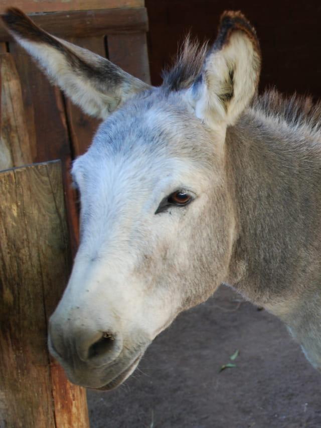 Portrait d'âne