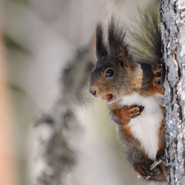 Portrait d'écureuil