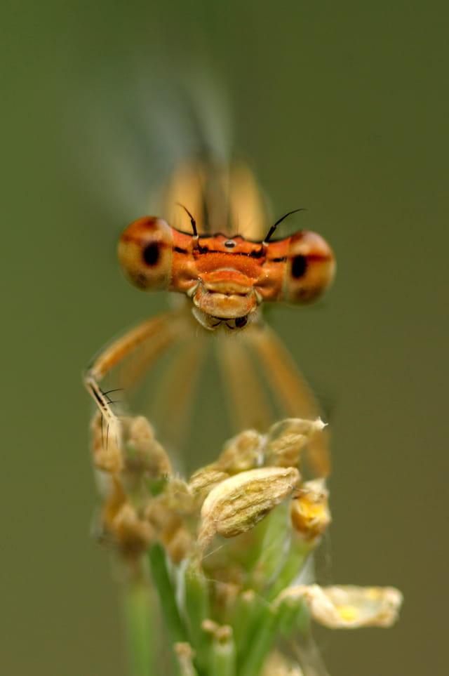 Portrait d'un agrion