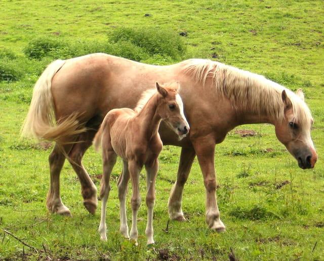 Poulain avec sa maman