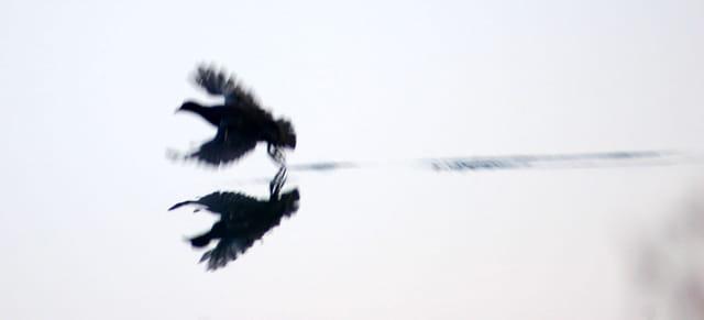 Poule d'eau au décollage