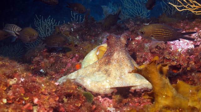 poulpe méditerranée