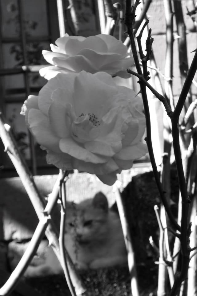 Pour les roses ou pour le chat ?