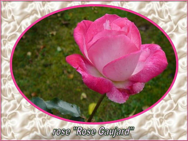 Pour vous, une des dernières roses de mon jardin