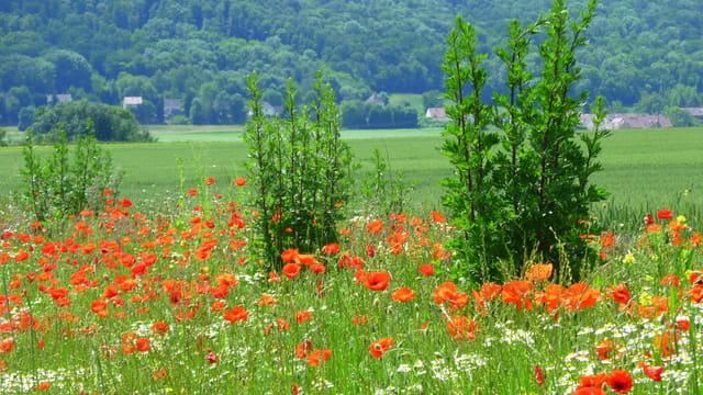 Prairie fleurie sur le plateau picard