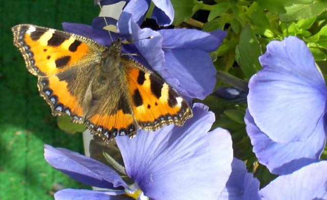 Premier papillon
