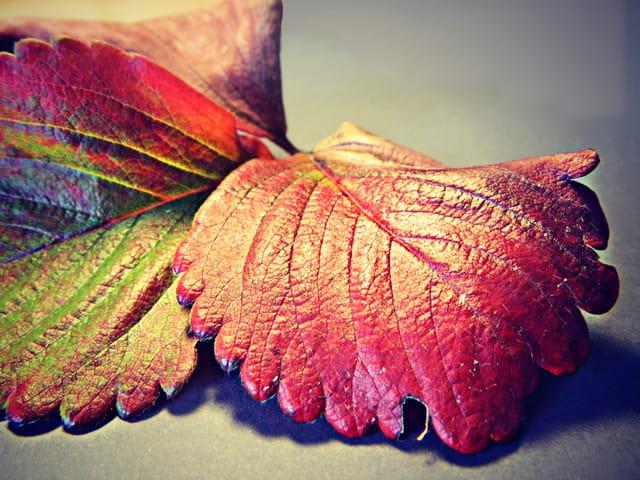 Première feuille d'automne