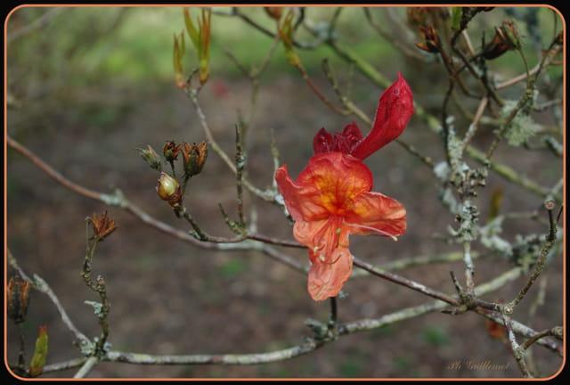 première fleur d'azalée à Trévarez
